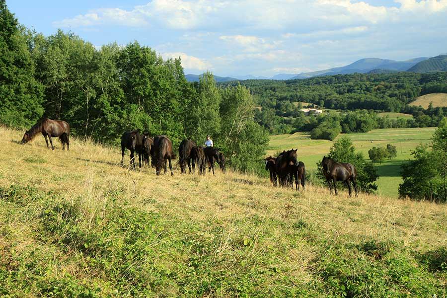 Les chevaux dans les prairies de la pension panoramique