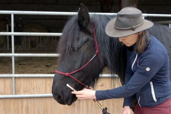 Avoir un cheval coopératif pour le vermifuge