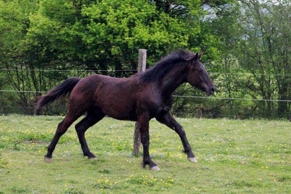 Jeune cheval mérens à vendre : Juan du Gay