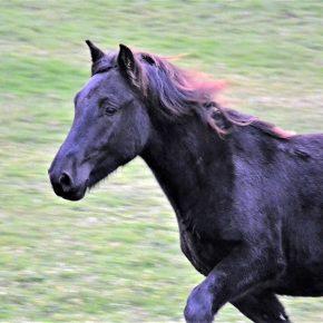 Cheval mérens en vente : Idaho un cheval attachant